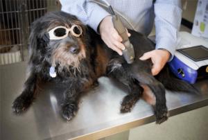 Terapia cu laser pentru câini, ce este și ce beneficii are?