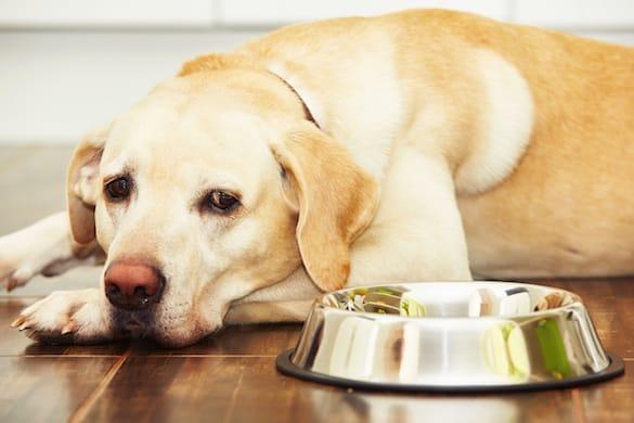 Pierderea poftei de mâncare la câini