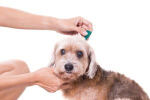 Babesioza la câini – ce știi despre ea?